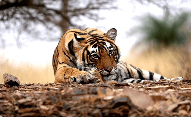 Pench National Park Jungle Safari - Tour