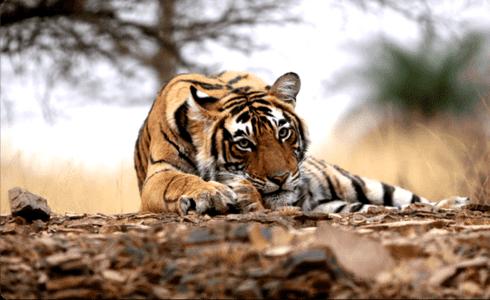 Pench National Park Jungle Safari
