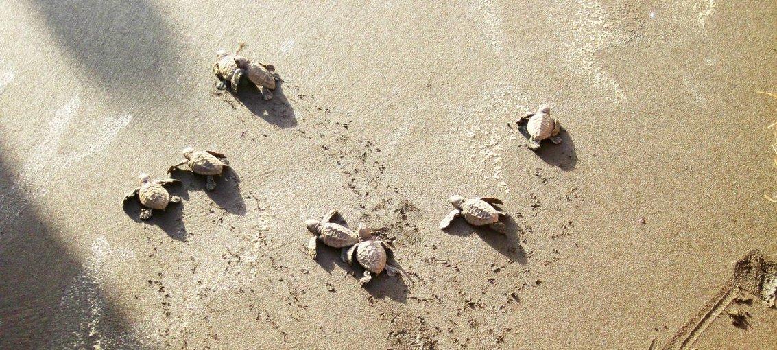 Tour To Velas Turtle Festival - Tour