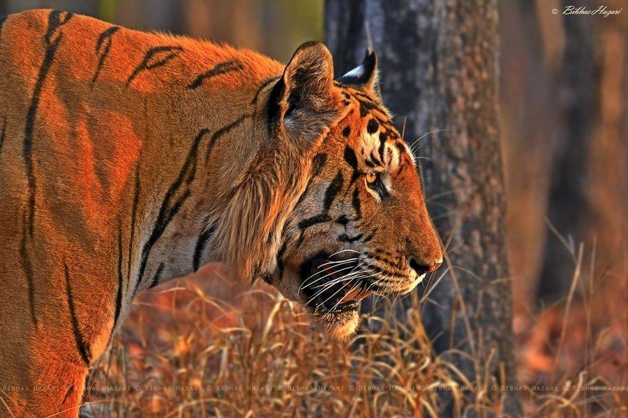 Kanha Wildlife Jungle Safari - Tour