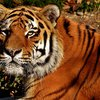 Tadoba_wildlife_jungle_safari