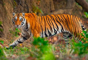 Jim Corbett Safari Packages - Collection