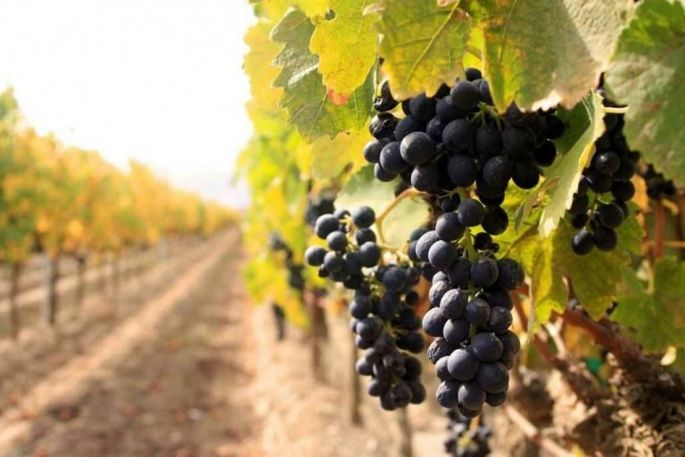 Sula Vineyard Tour & Stomping - Tour