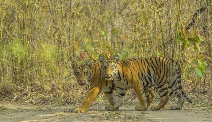 TADOBA TIGER WILDLIFE SAFARI-BUFFER SPECIAL - Tour