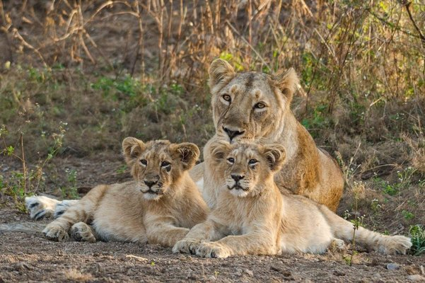 GIR LION SAFARI : SHWETA DOSHI - Tour