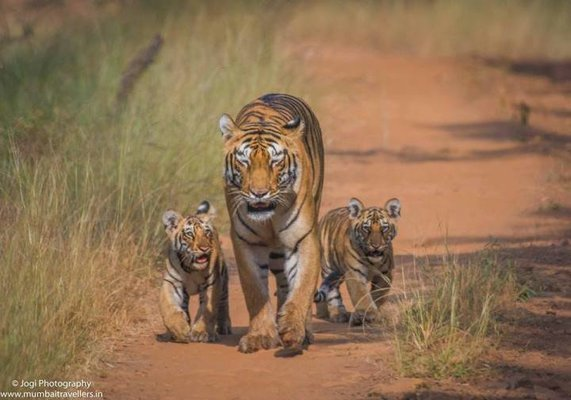 TADOBA TIGER SAFARI  - Package - Tour