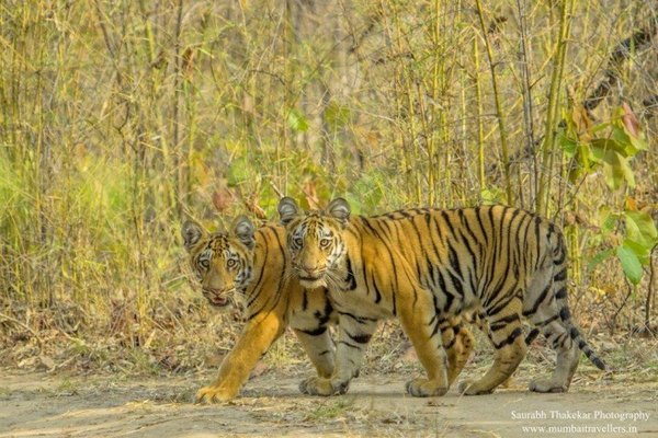 TADOBA SAFARI - Tour