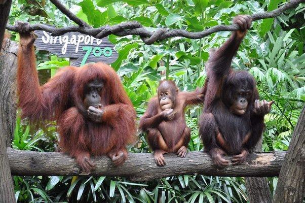 Singapore Zoo, Sightseeing in Singapore - Tour