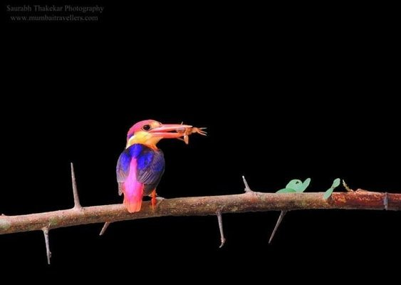 Wildlife Photomania : In search of Oriental Dwarf Kingfisher - Tour
