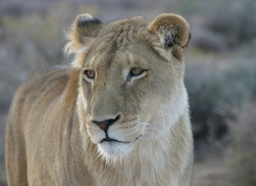 Lion Park Tour,  Sightseeing in Johannesburg - Tour