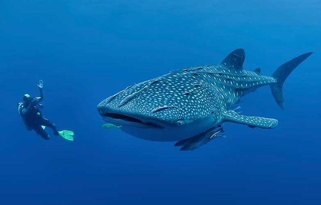 Scuba Diving with the Whale Sharks, Sightseeing in Cebu - Tour