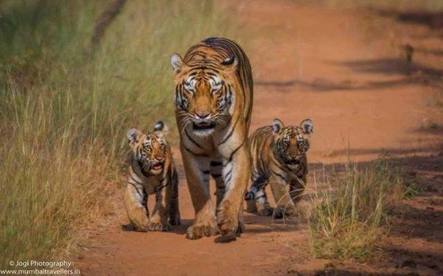 Tadoba Wildlife Safari - Tour