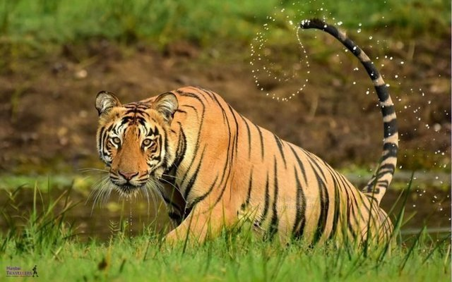 Tatkal Tadoba Safari booking - Tour