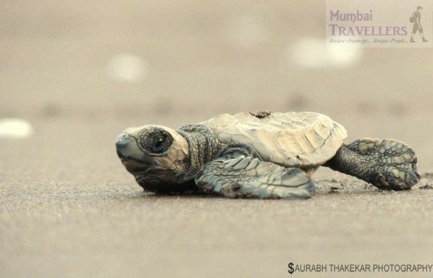 PUNE TOUR TO VELAS TURTLE FESTIVAL - Tour