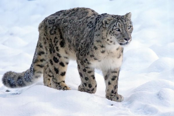 SNOW LEOPARD EXPEDITION - Tour