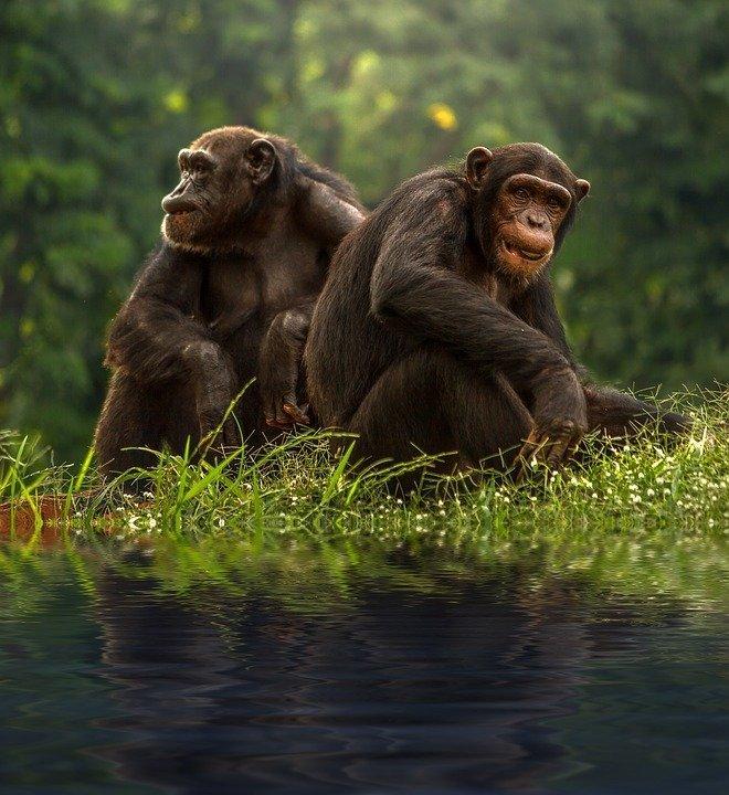 chimpanzee.jpg - description