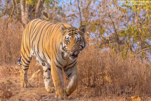 TADOBA TIGER WILDLIFE PHOTOGRAPHY SAFARI - Tour