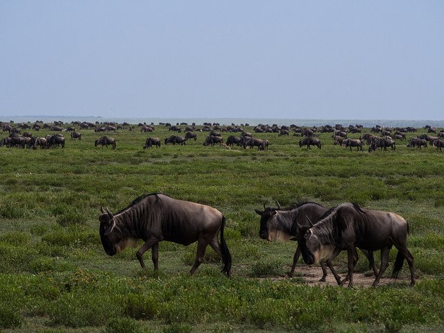 The Great Migration Safari - Calving Season, November to March - Tour