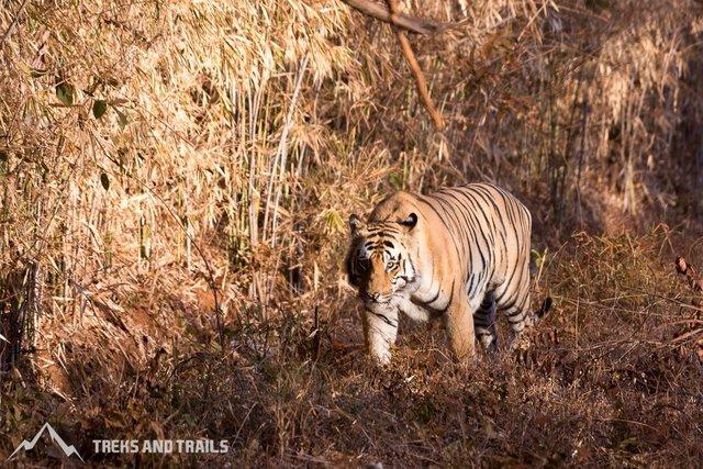 Tiger Safari - Collection